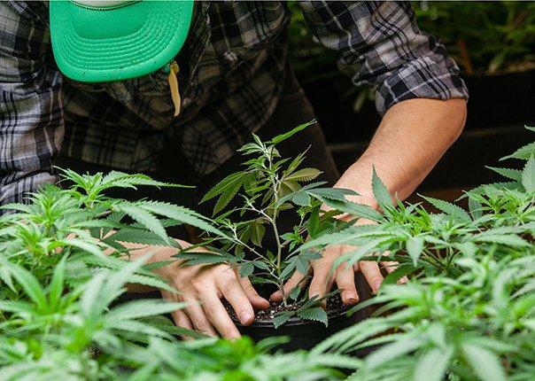 rfid for cannabis and hemp growers
