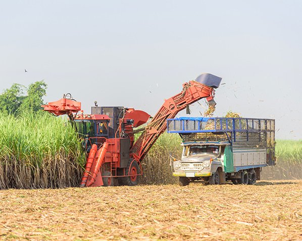 machine harvesting sugar cane fields