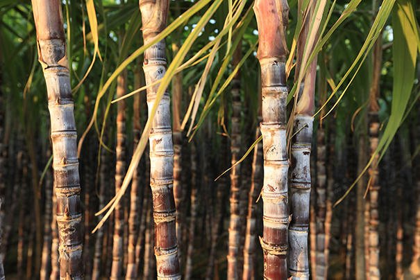 rfid solutions for sugar cane growers